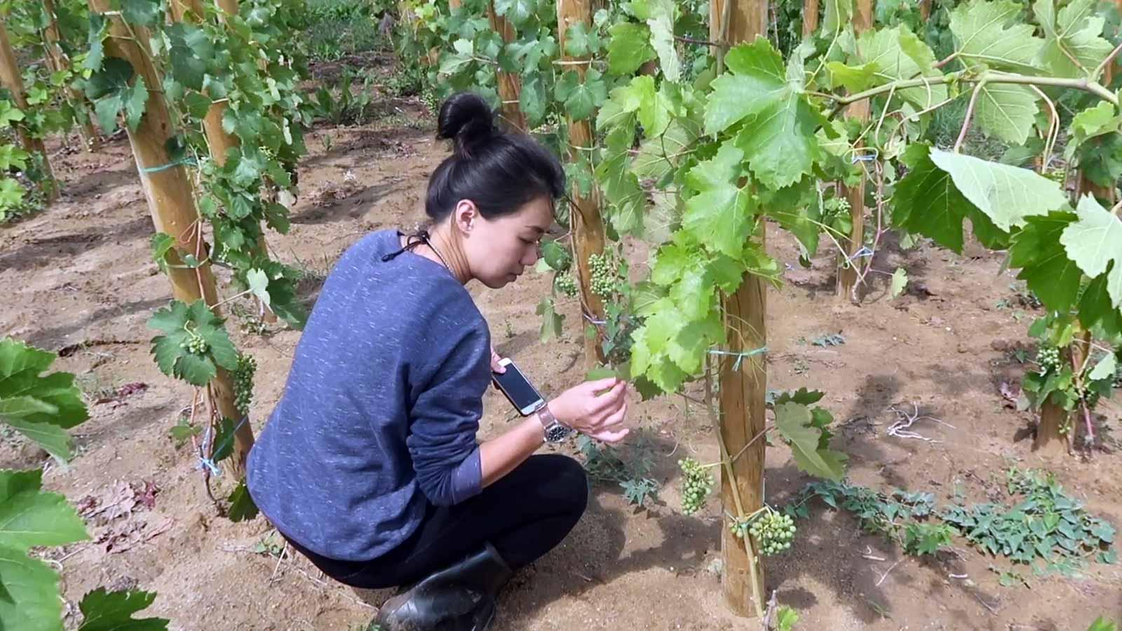 wone inspecting vine